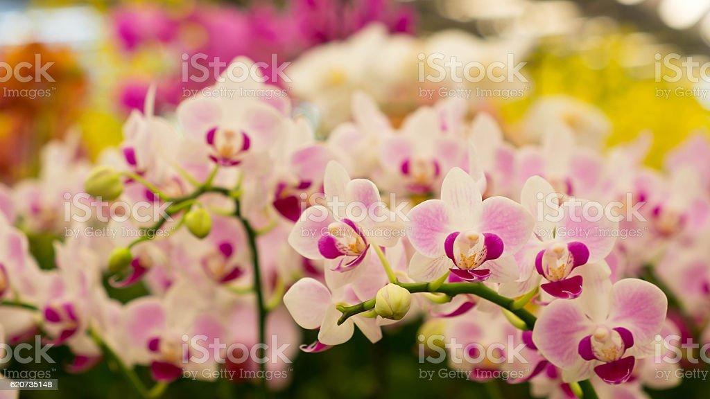 Orchidee Blume Hintergrund  Lizenzfreies stock-foto