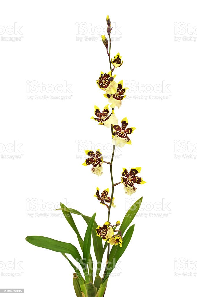 Orchid flower isolated on white stock photo