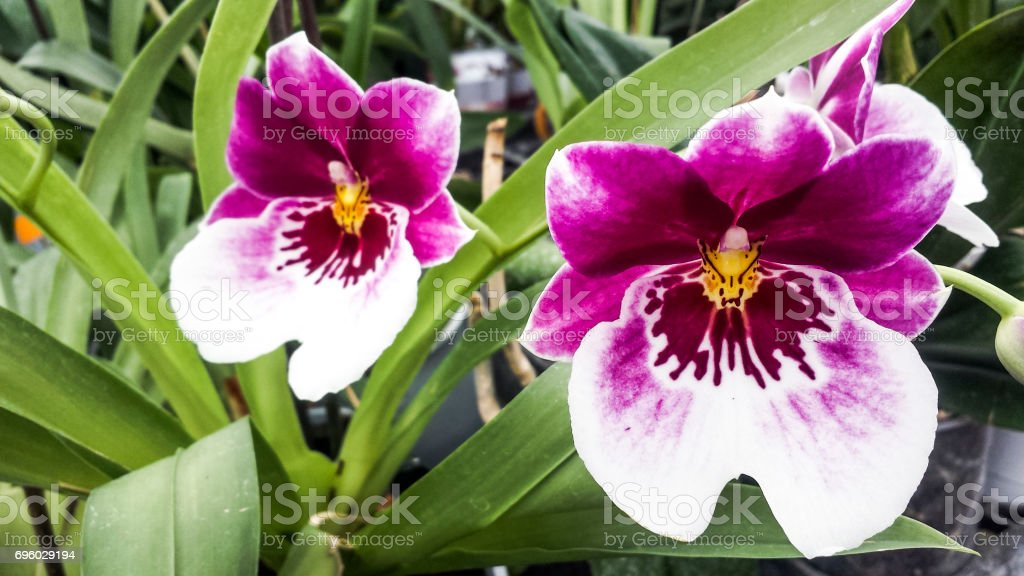 Orchid flower. Miltonia orchid or Miltonopsis, beautiful colorful background. stock photo