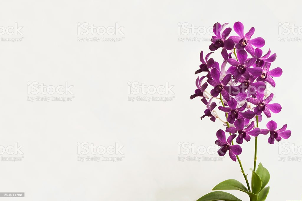 Orchid flower on white background. stock photo