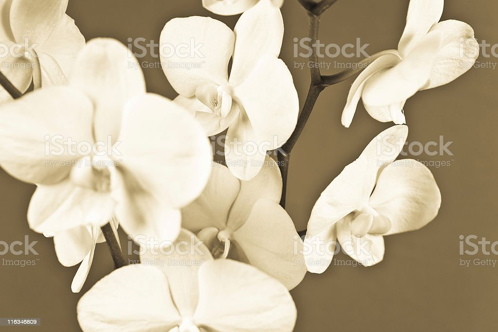Orchid Flower. Sepia Tone royalty-free stock photo
