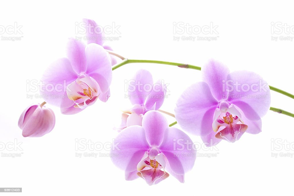 Orchid flowers on white royalty-free stock photo