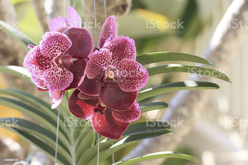 orchid flowers royalty-free stock photo