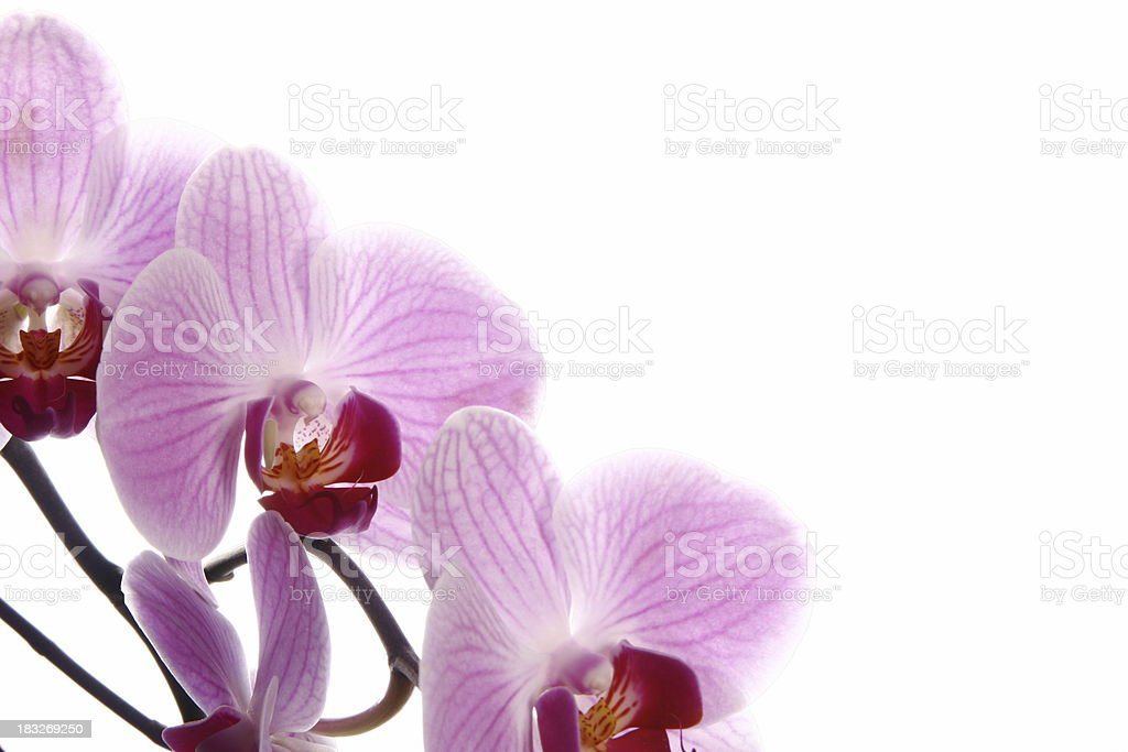 Orchid flowers - Template for greeting cards royalty-free stock photo