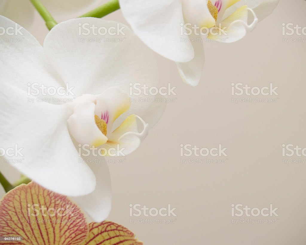 orchid flowers with copy space. royalty-free stock photo