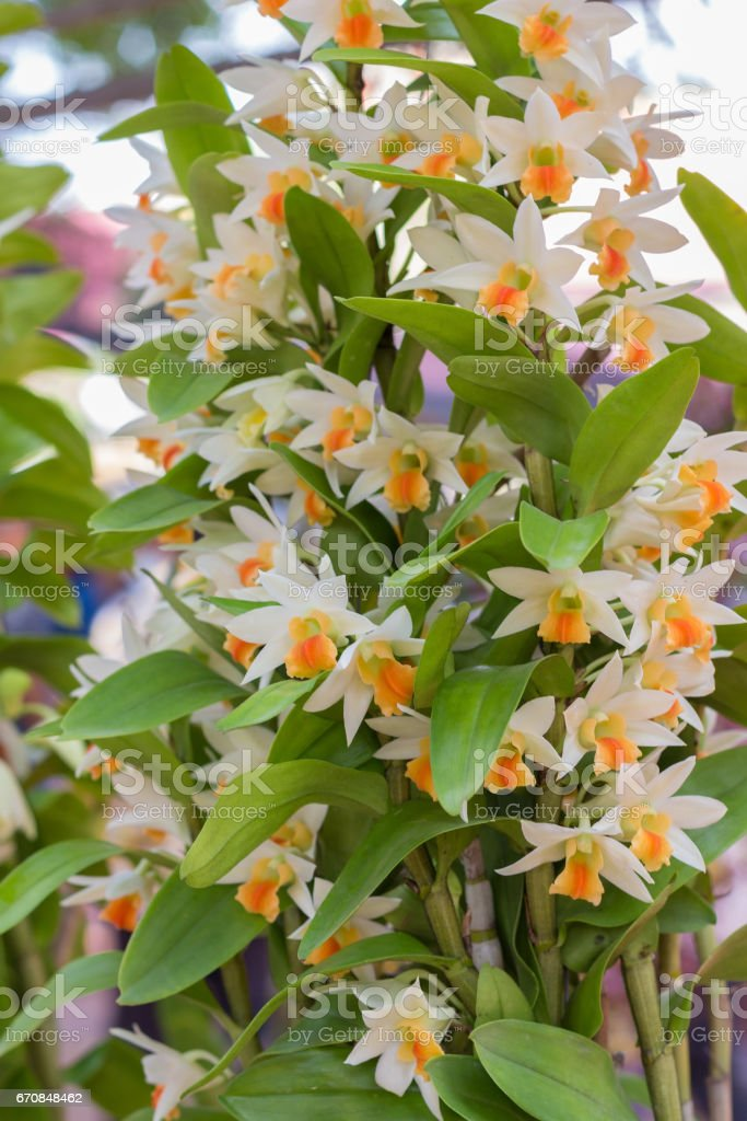 orchid flowers with leaves stock photo