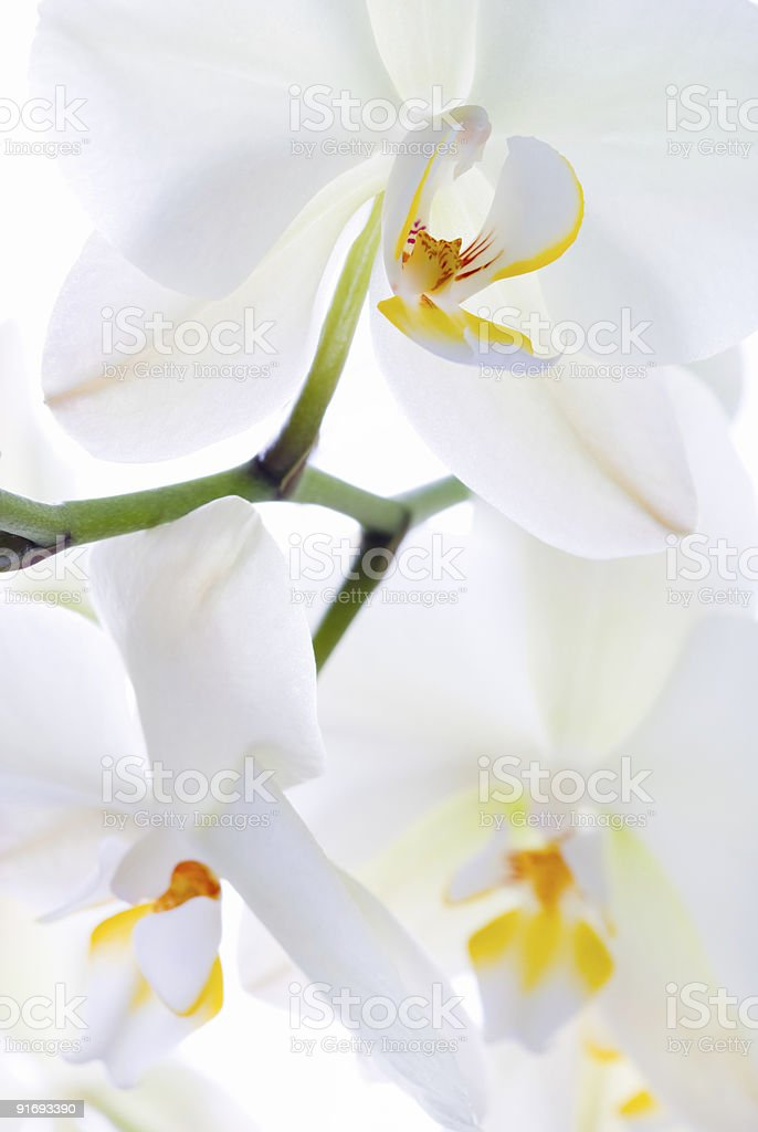 Orchid freshness. royalty-free stock photo