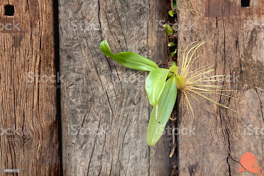 Orchid grow on old wall royalty-free stock photo