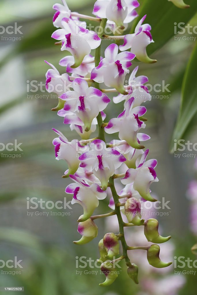 Orchid growing on tree royalty-free stock photo