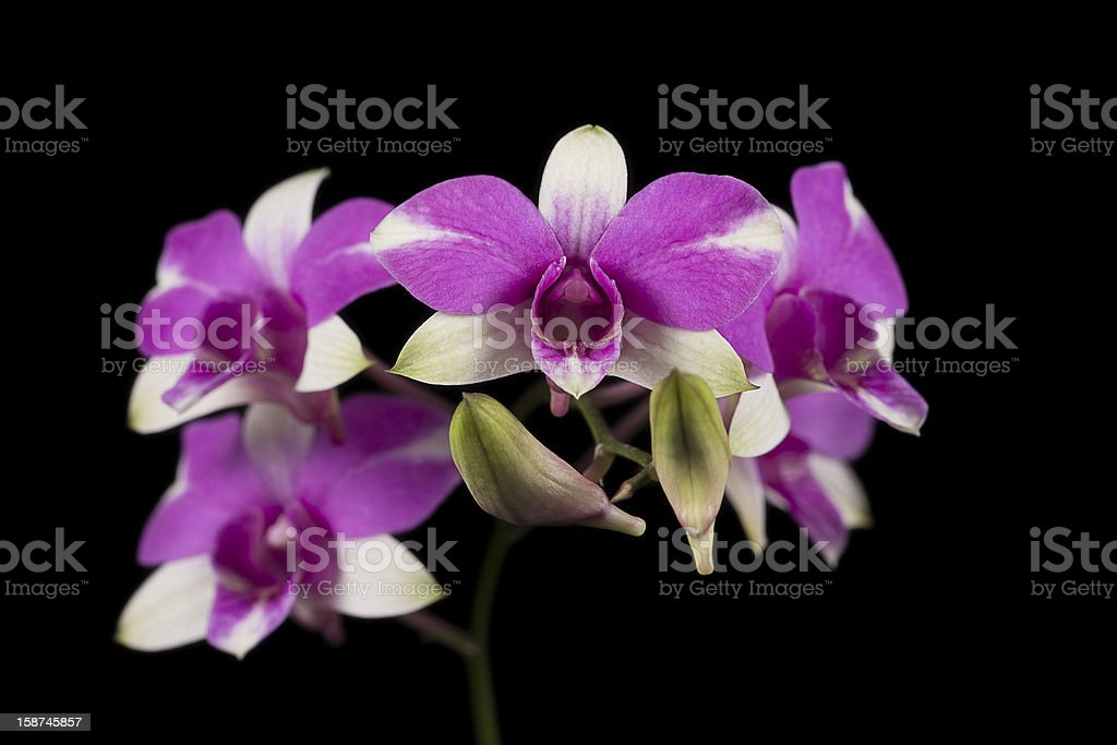 Orchid Hybrid - Dendrobium Cherry Sung front view BBG royalty-free stock photo