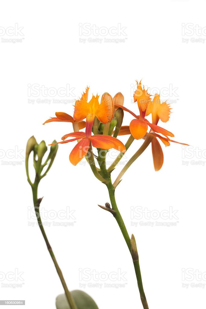 Orchid Hybrid - Orange Epidendrium royalty-free stock photo