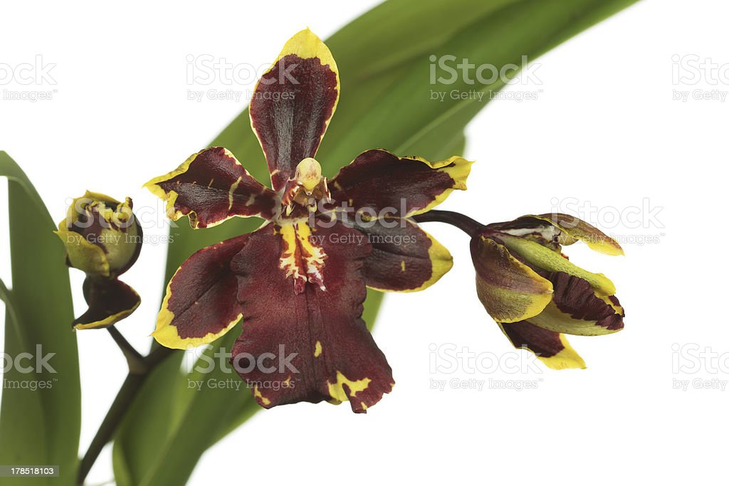 Orchid Hybrid Plant - Odontocidium Wildcat 'Bloodshot in High Key royalty-free stock photo