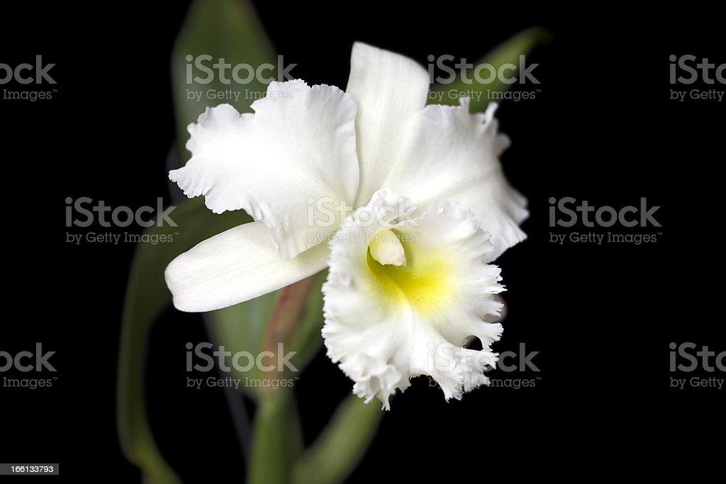 Orchid Hybrid - Rhyncholaeliocattleya Queen Deesee royalty-free stock photo