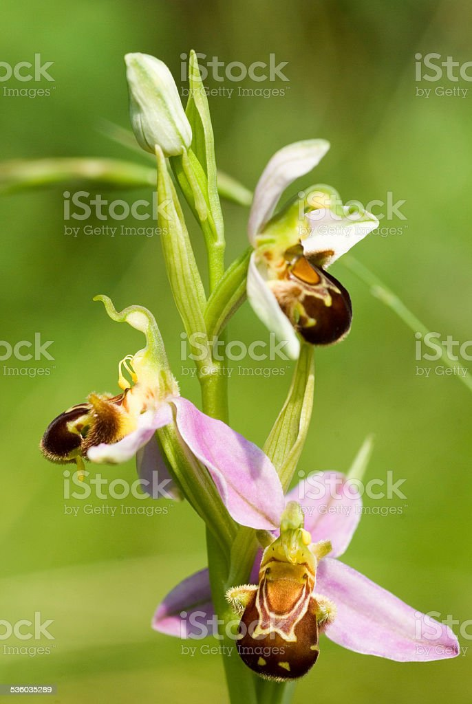 orchid in bloom(ophrys apifera stock photo