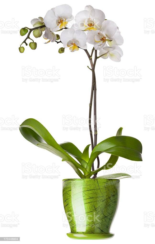 Orchid in flowerpot stock photo