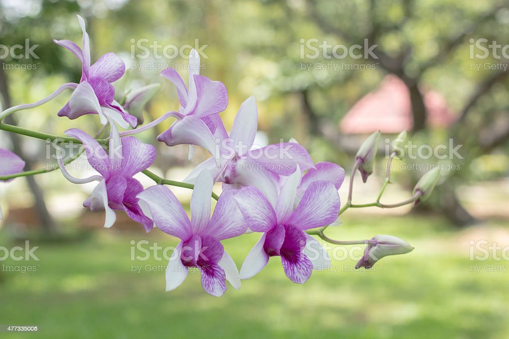 Orchid in garden royalty-free stock photo