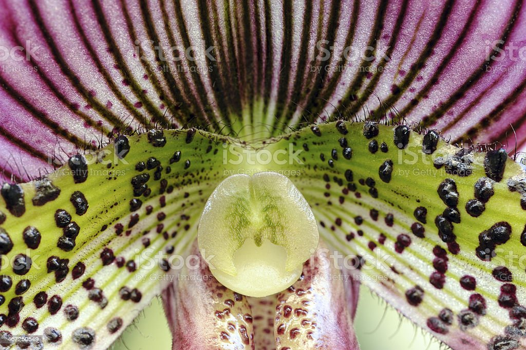Orchid in Macro stock photo