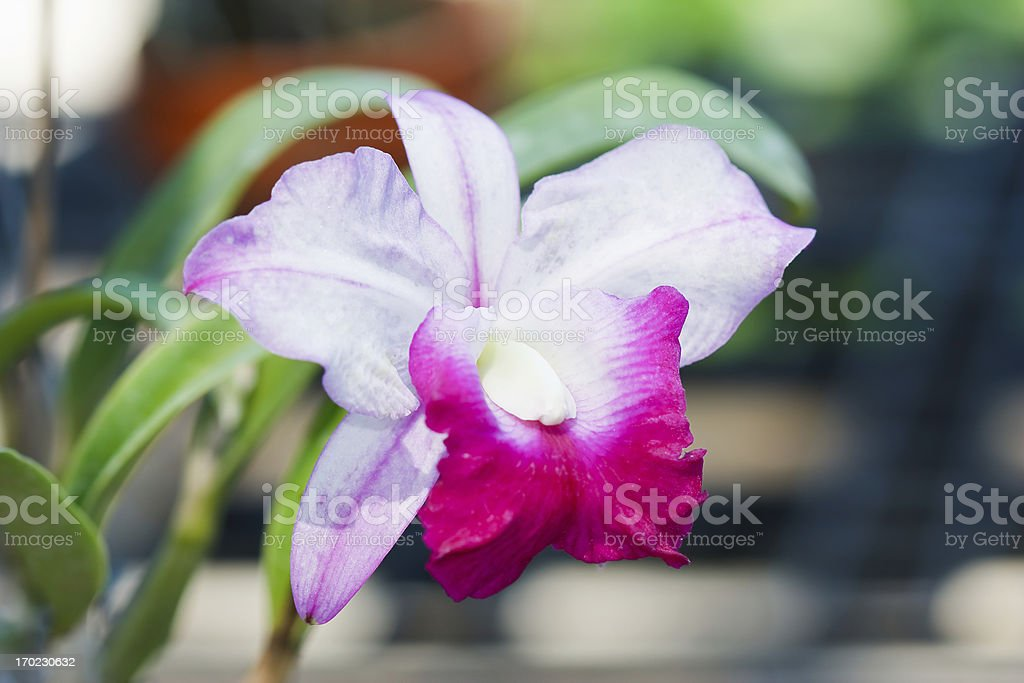 orchid in the garden at thailand royalty-free stock photo