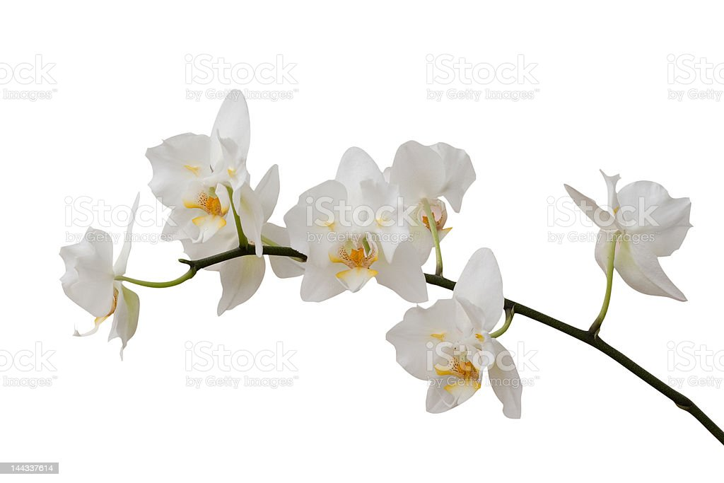 Orchid Isolated 05 royalty-free stock photo