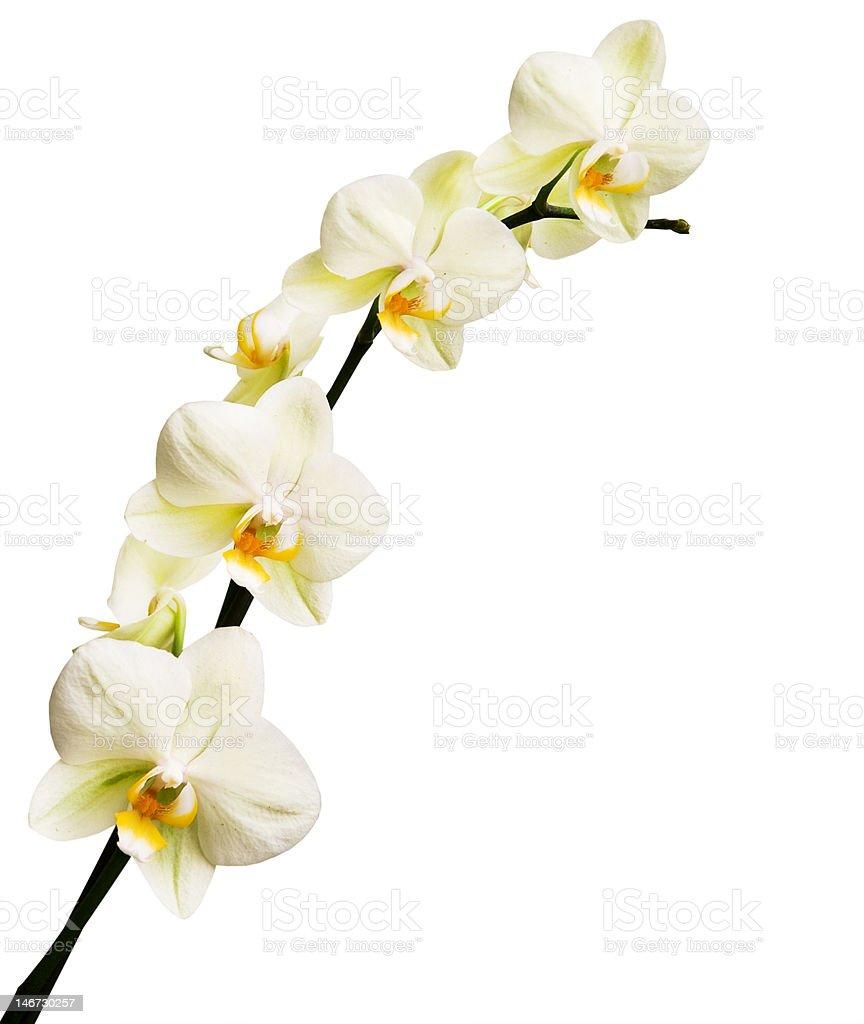 Orquídea isolado em fundo branco foto de stock royalty-free