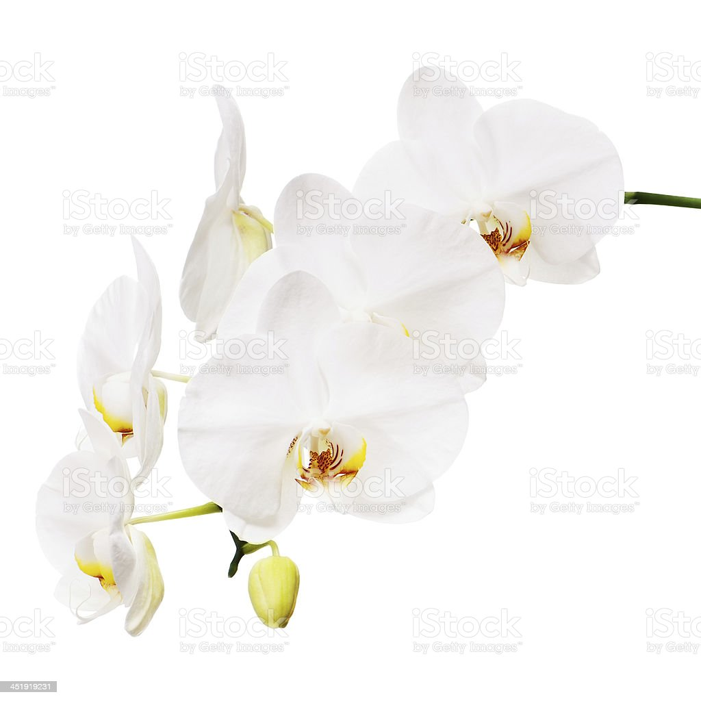 Orchid isolated on white background. stock photo