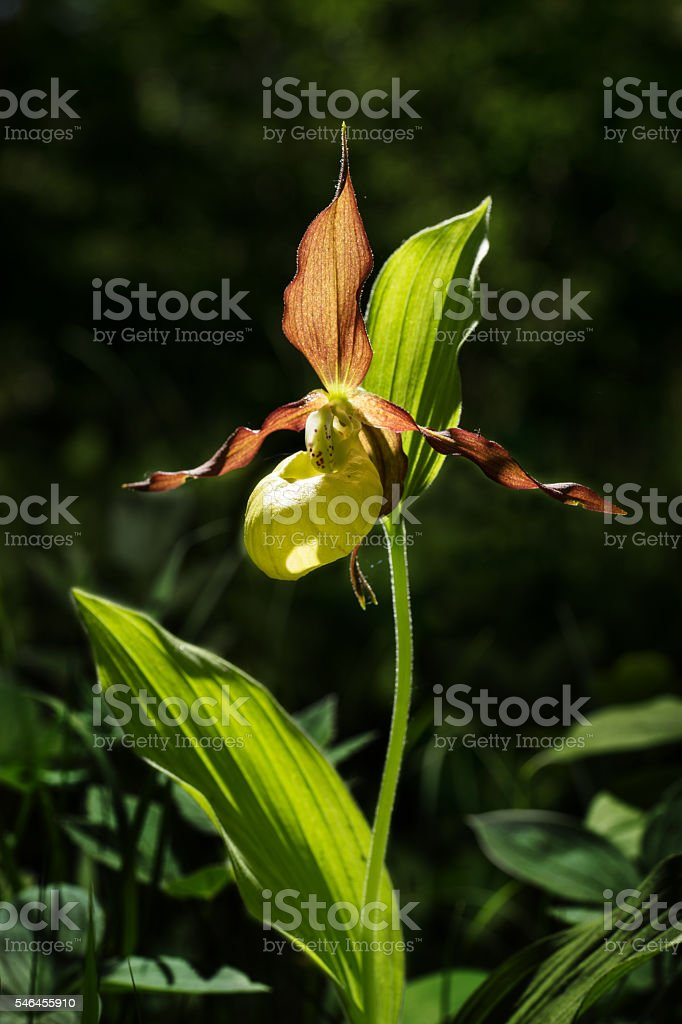 Orchid. Ladys Slipper blossom bloom. Blooming flower. Cypripedium calceolus. stock photo