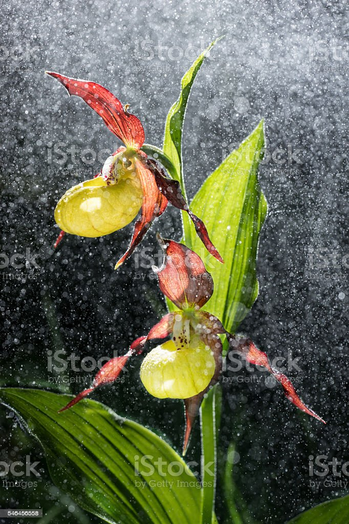 Orchid. Ladys Slipper blossom bloom. Blooming flower. Cypripedium calceolus. Rain. stock photo