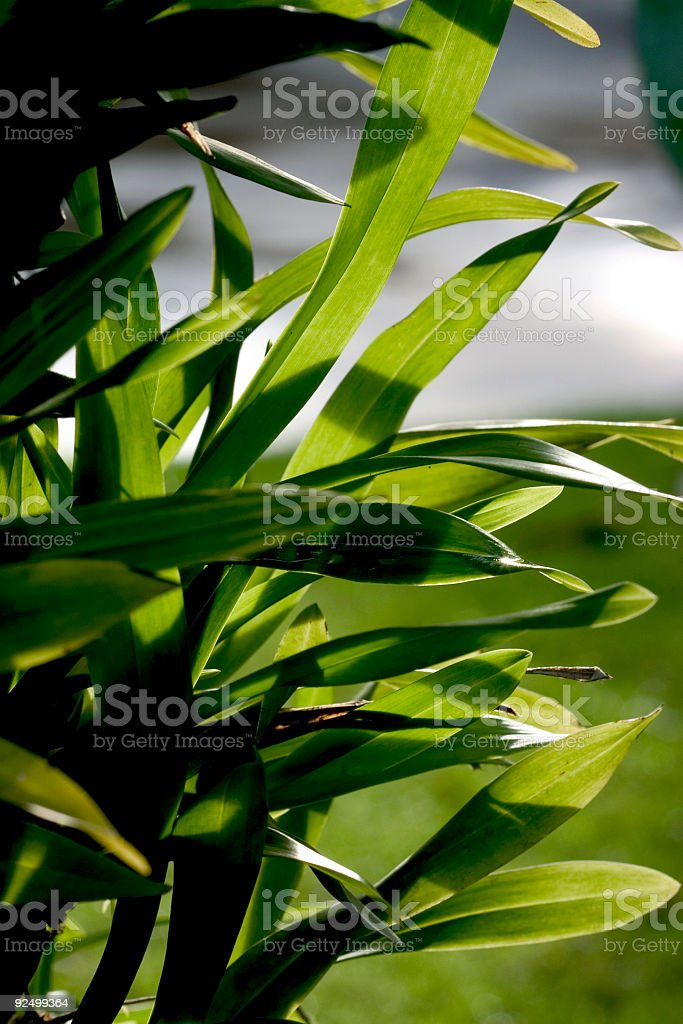 Orchid Leaves royalty-free stock photo