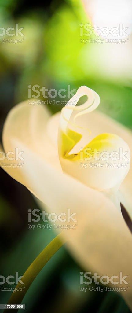 Orchid Lip stock photo