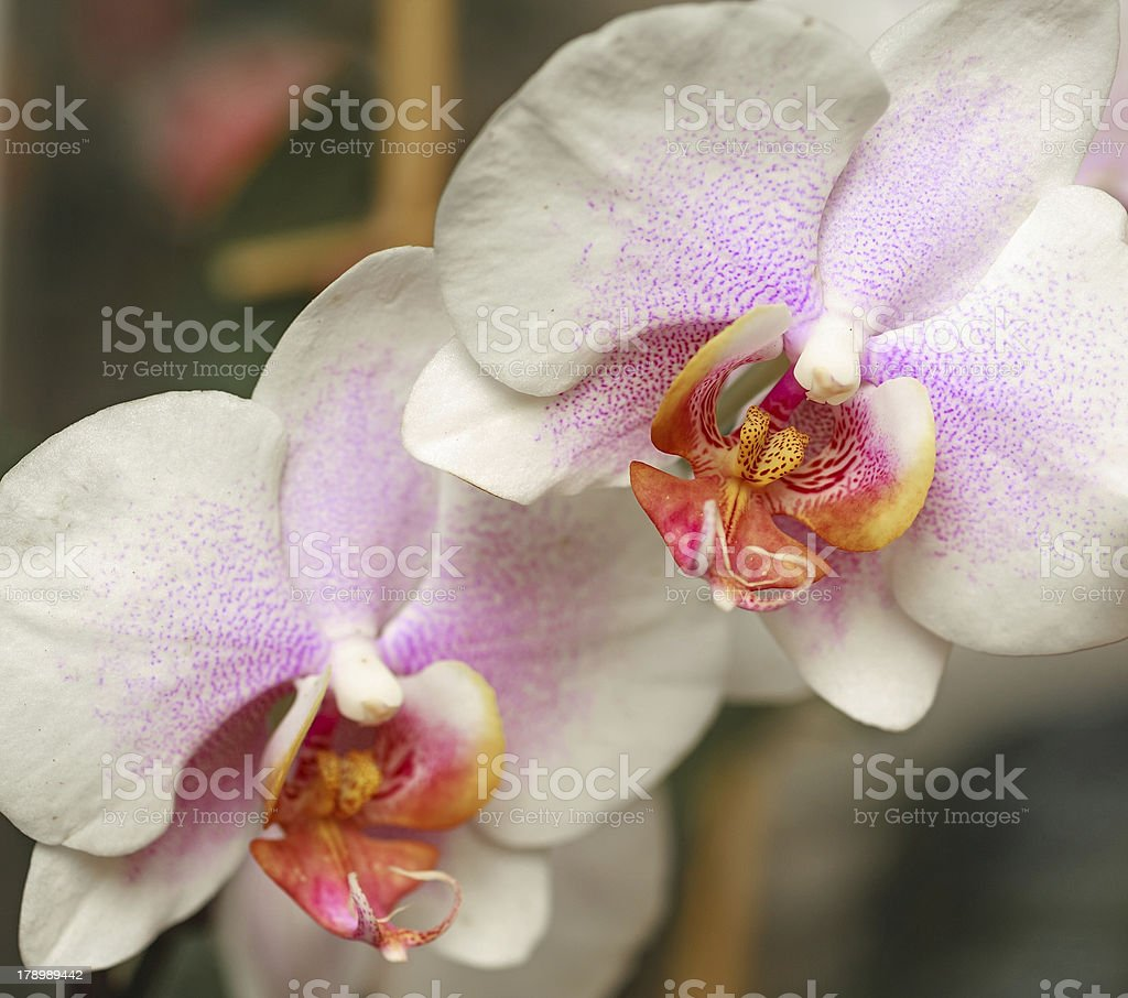 Orchid Macro royalty-free stock photo