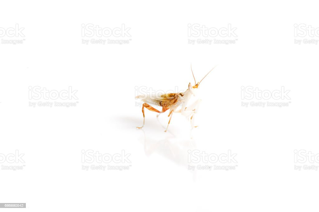 Orchid Mantis on isolated white background stock photo