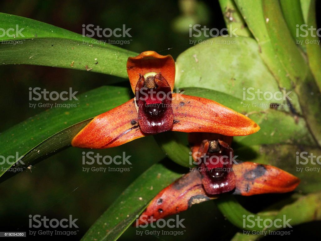 Orchid Maxillaria sp. Costa Rica, Alajuela, Poas Volcano stock photo