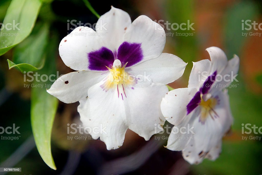 Orchid Miltonia stock photo