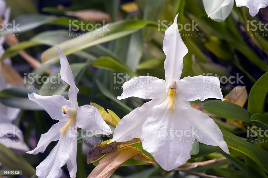 Orchid Miltonia spectabilis alba stock photo