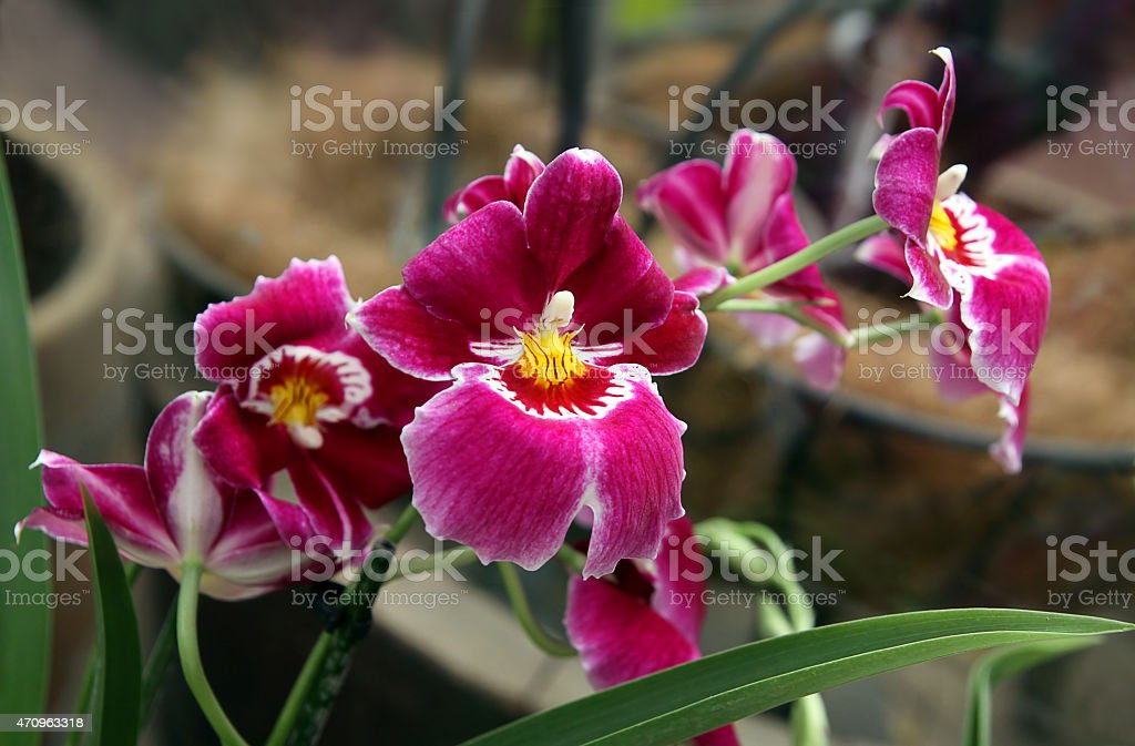 Orchid Miltoniopsis stock photo