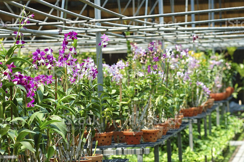 Orchid nursery royalty-free stock photo