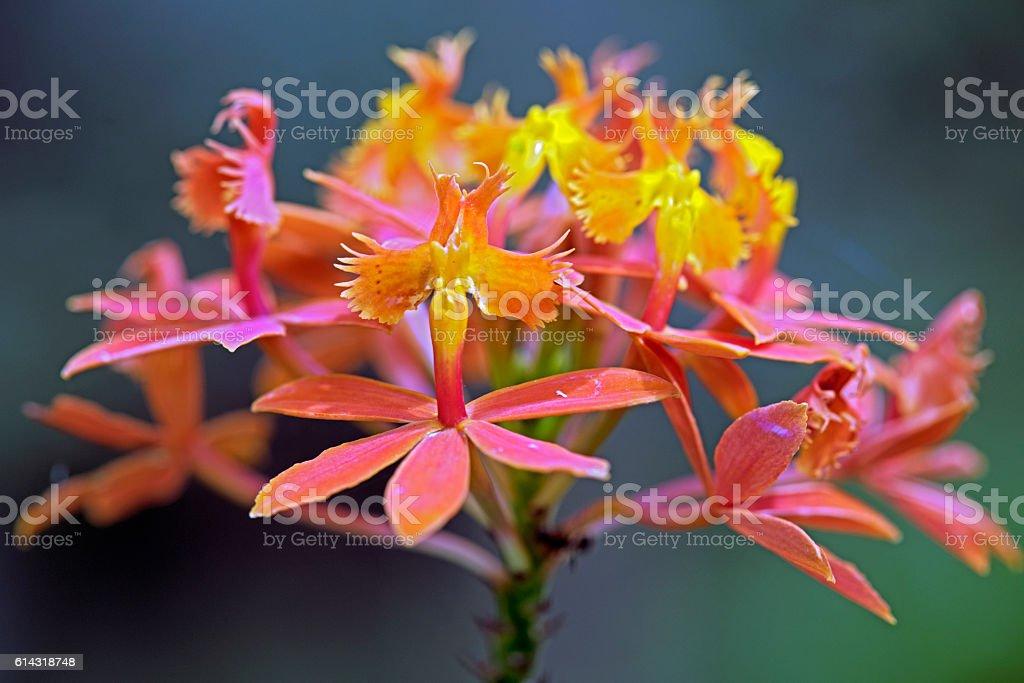 Orchid of the Epidendrum genus stock photo
