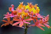 Orchid of the Epidendrum genus