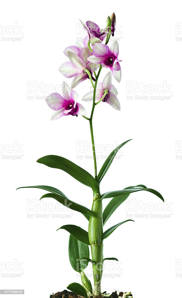 orchid on a white background royalty-free stock photo