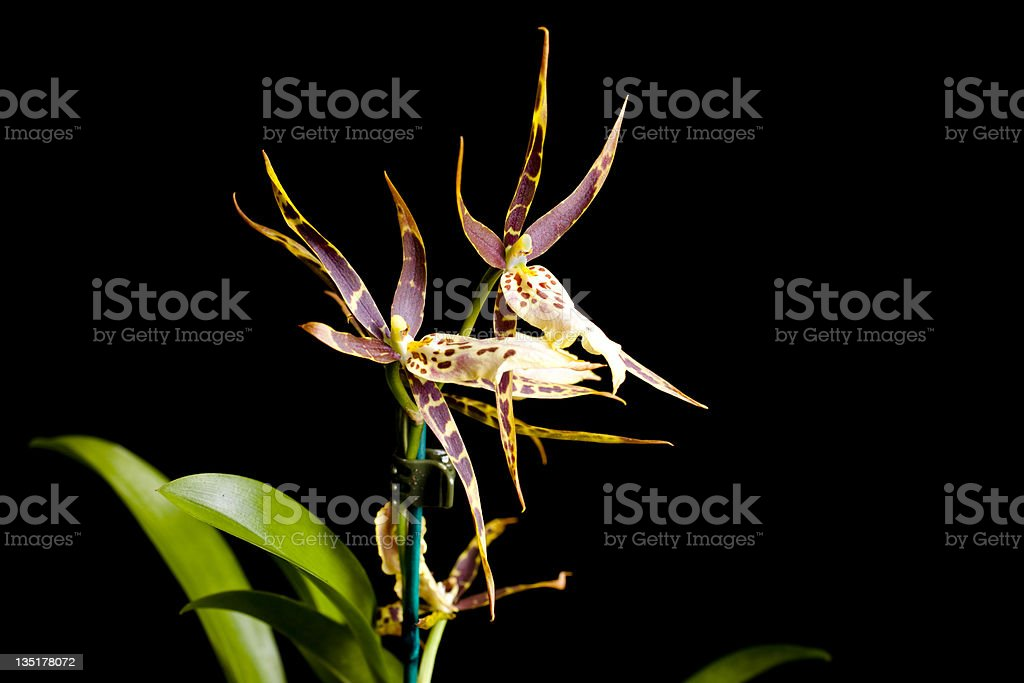 Orchid on black background. stock photo