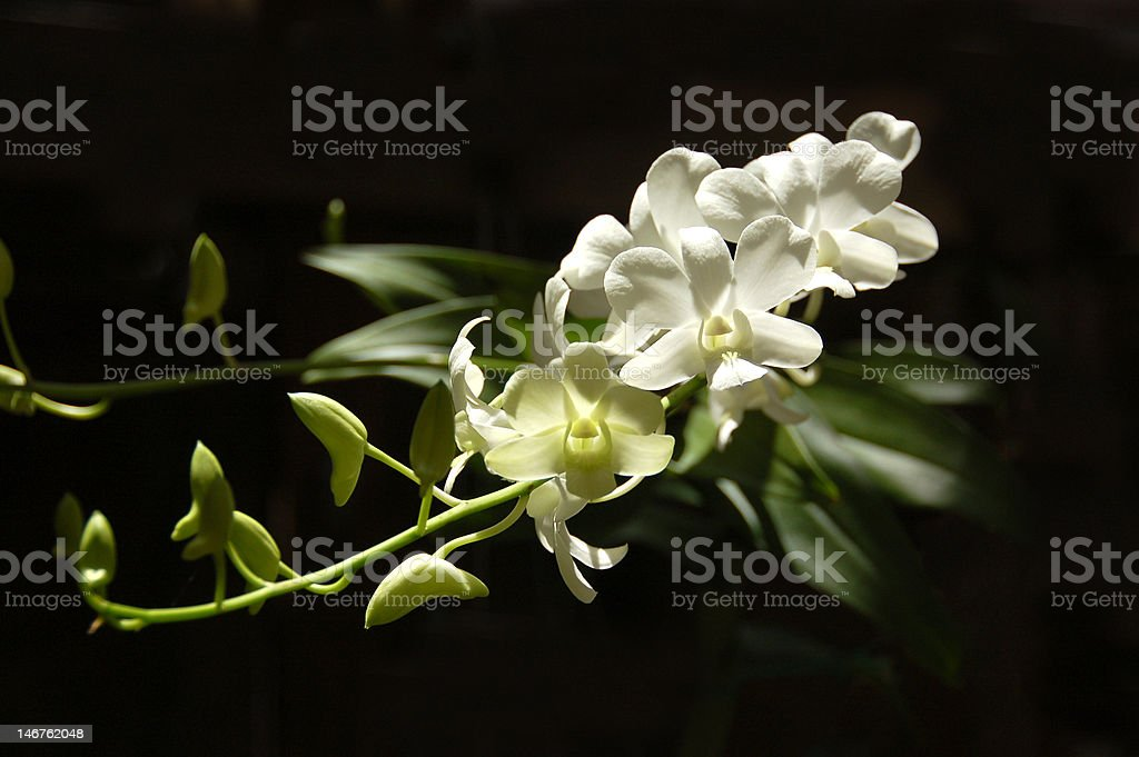 Orchid on black royalty-free stock photo