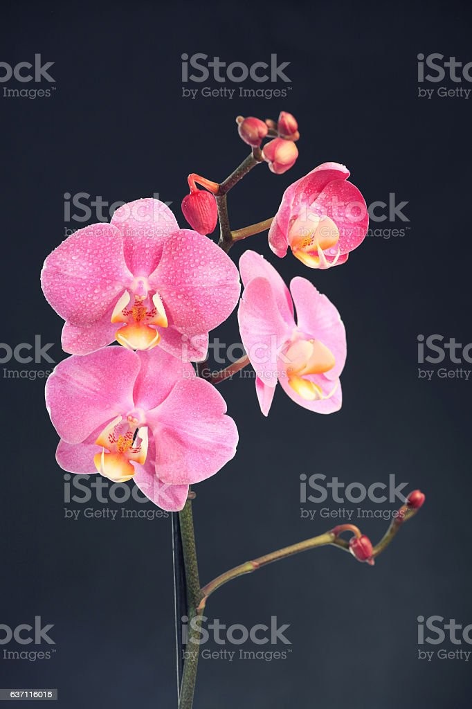 Orchid on dark background stock photo