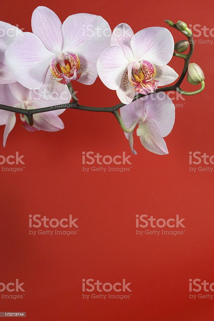 Orchid on Red 4 royalty-free stock photo