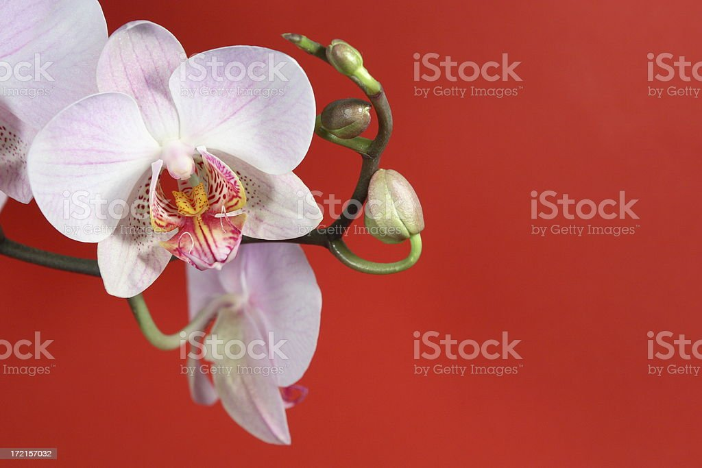 Orchid on Red 5 royalty-free stock photo