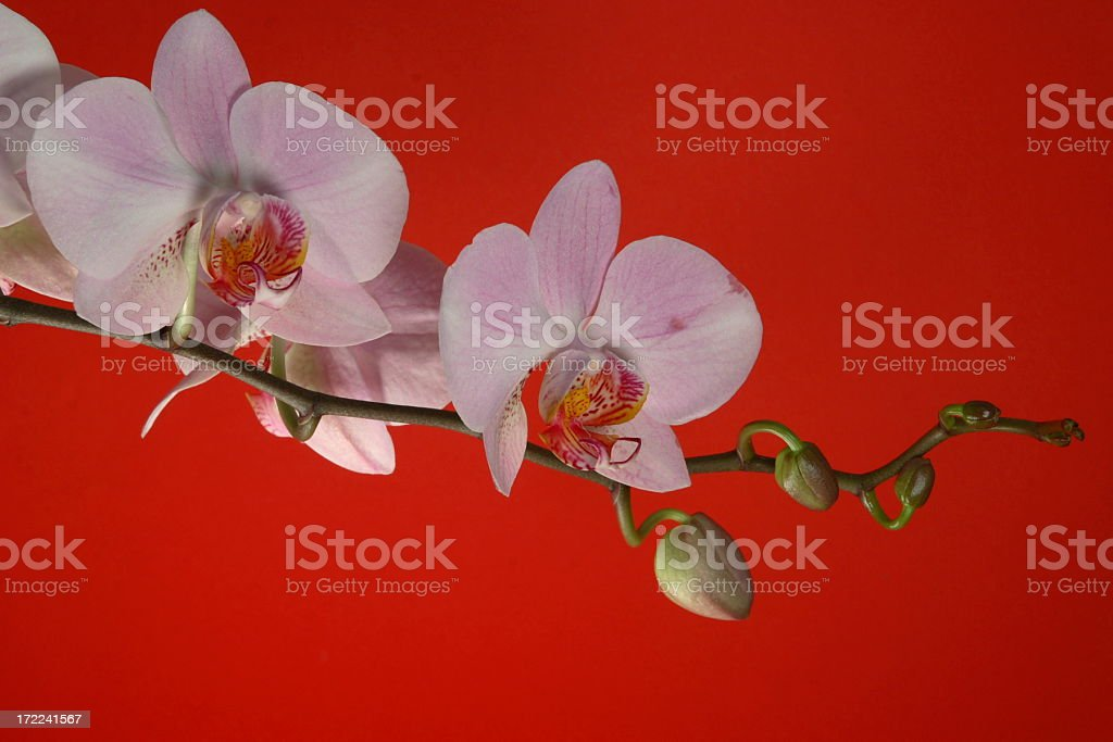 Orchid on Red royalty-free stock photo