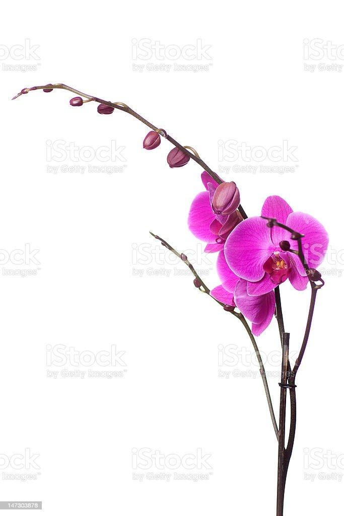 Orchidée sur blanc photo libre de droits