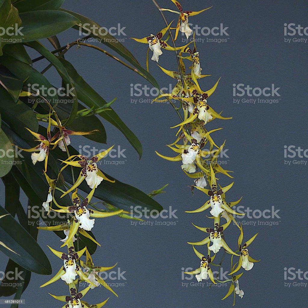 Orchid - Oncidinae stock photo
