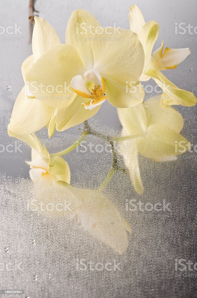 Orchid phalaenopsis flower royalty-free stock photo