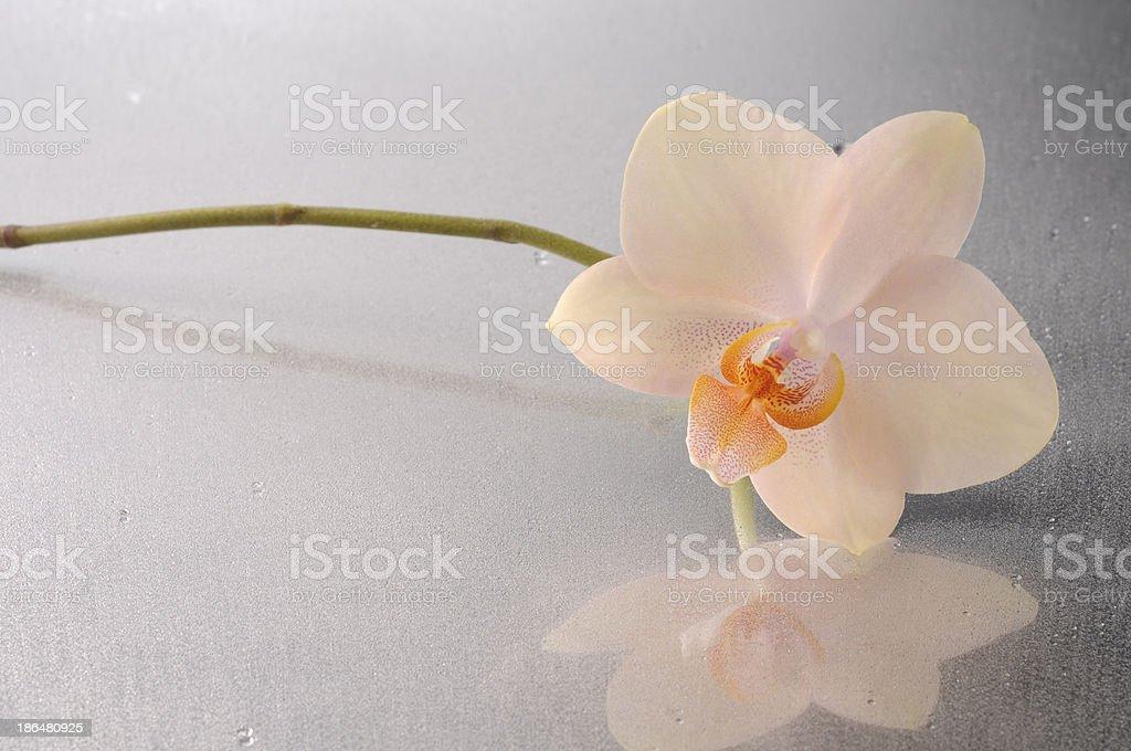 Orchid phalaenopsis flower royalty-free stock photo