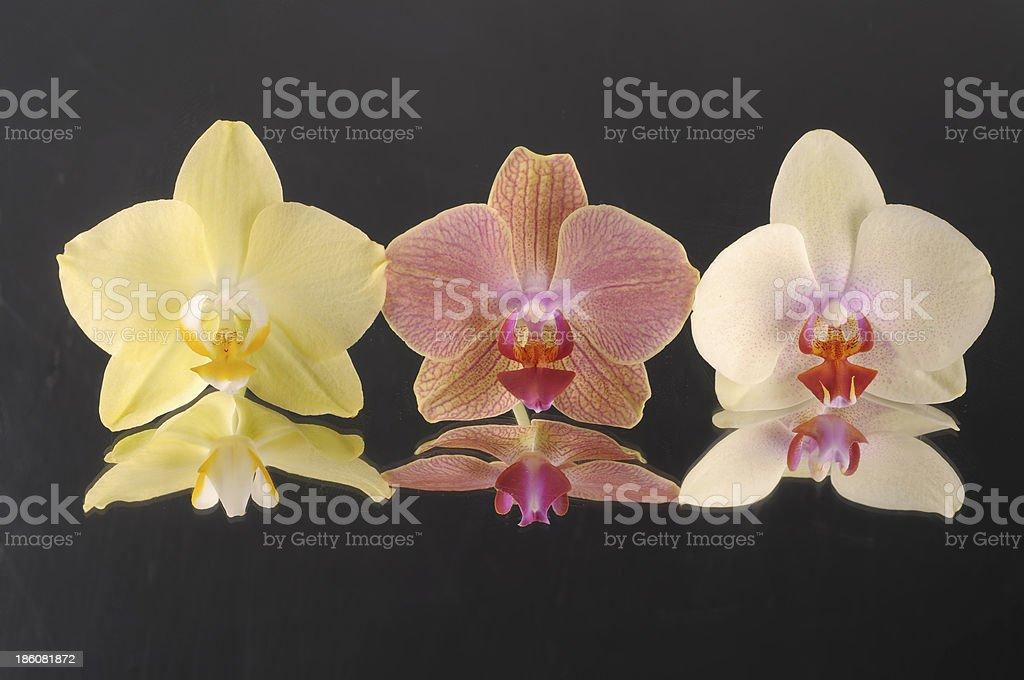 Orchid phalaenopsis flowers royalty-free stock photo